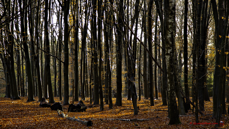 Late herfst, Beukenbos vlakbij kasteel Joppe