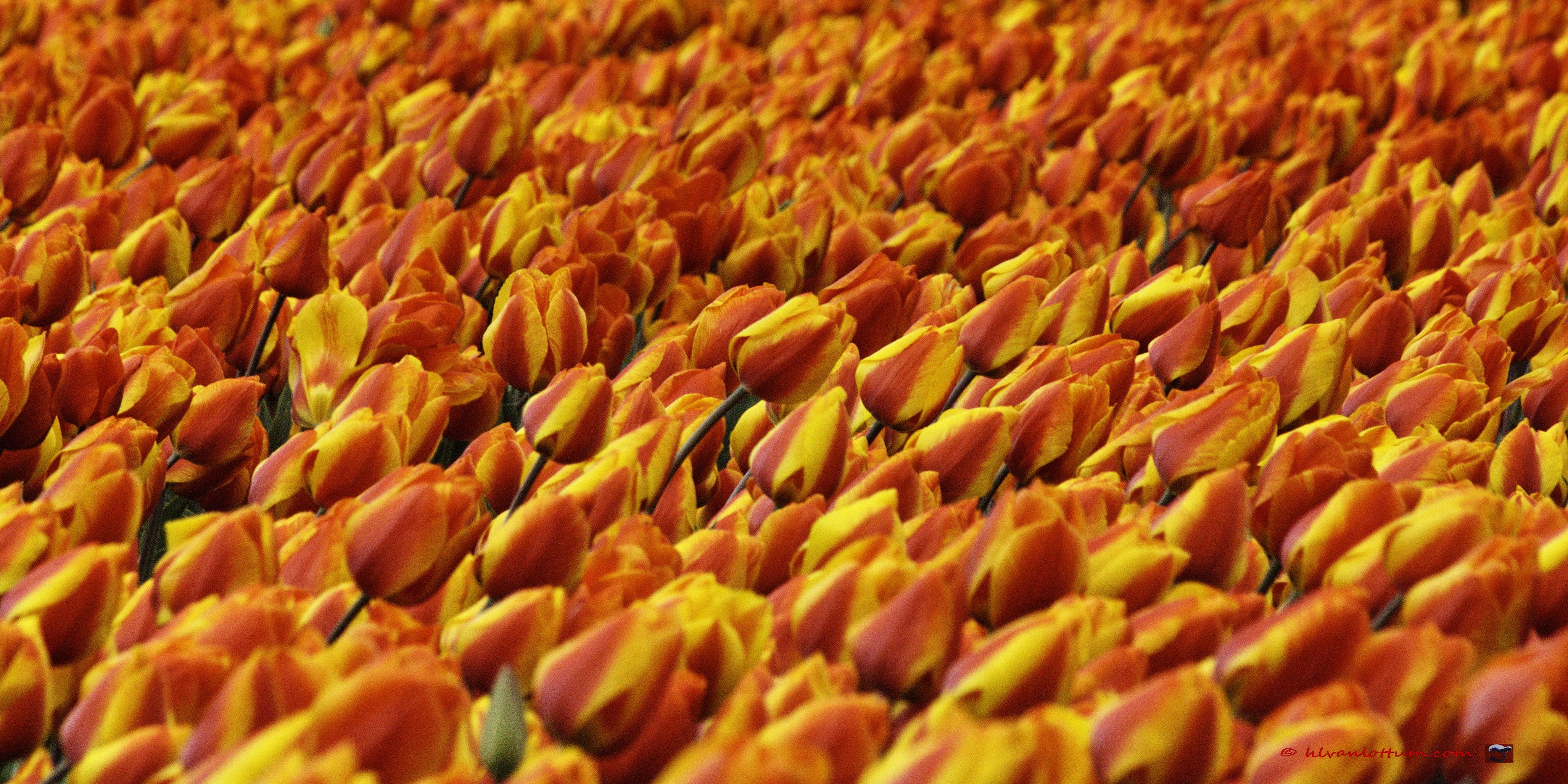 Bollenveld, tulpen
