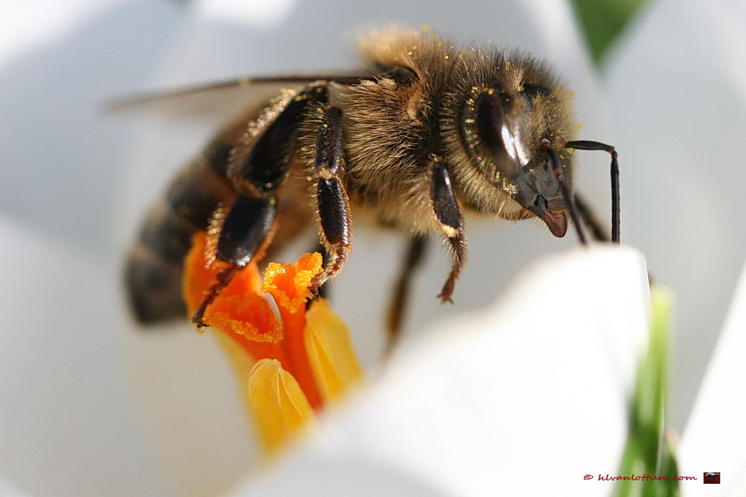 Honingbij op crocus