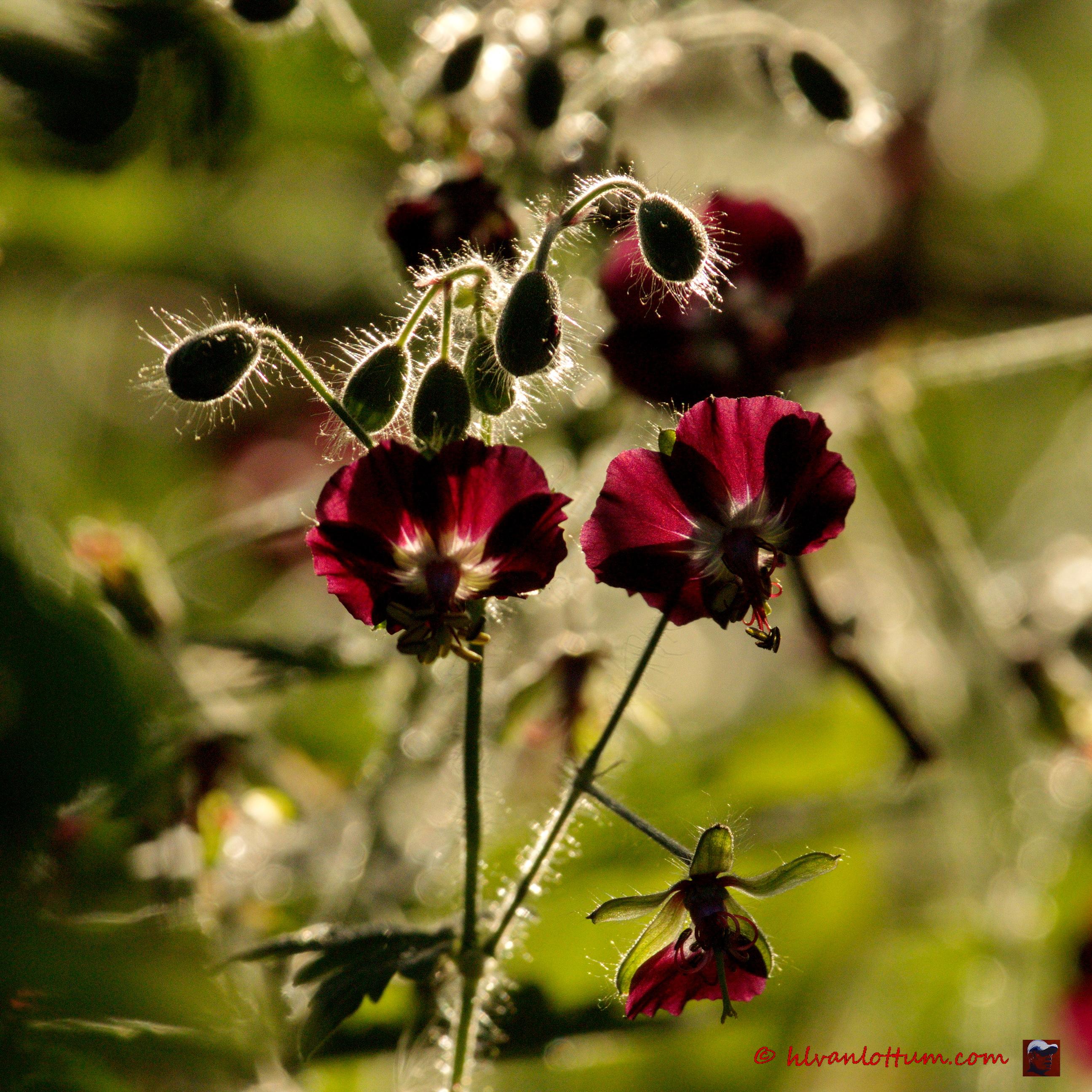 Donkere geranium, geranium phaeum