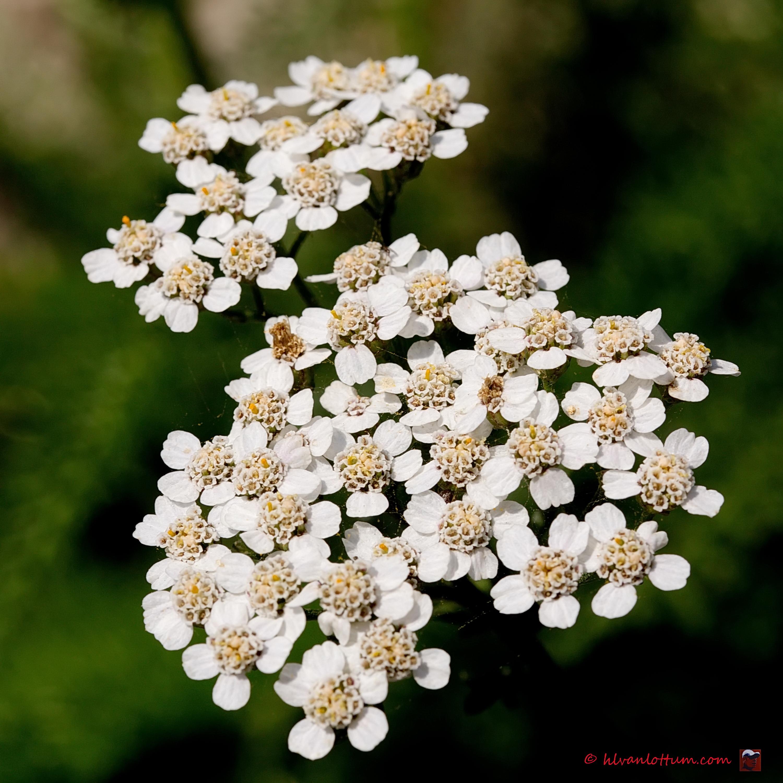 Duizendblad - achillea millefolium