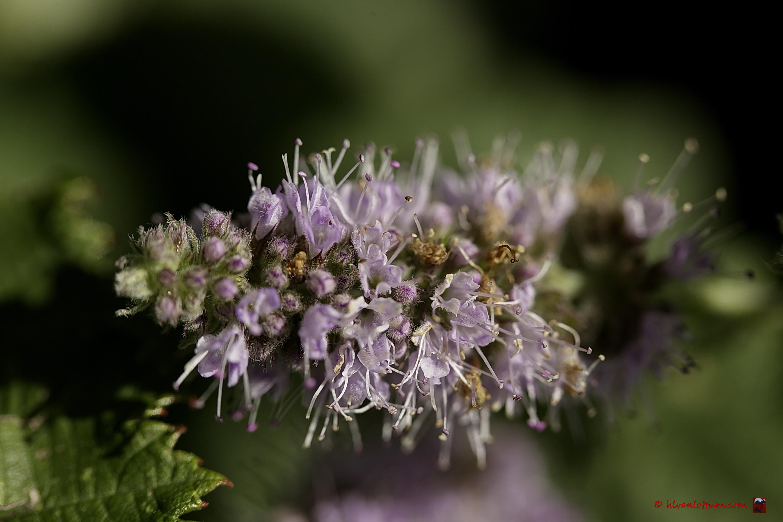 Hertsmunt - mentha longifolia
