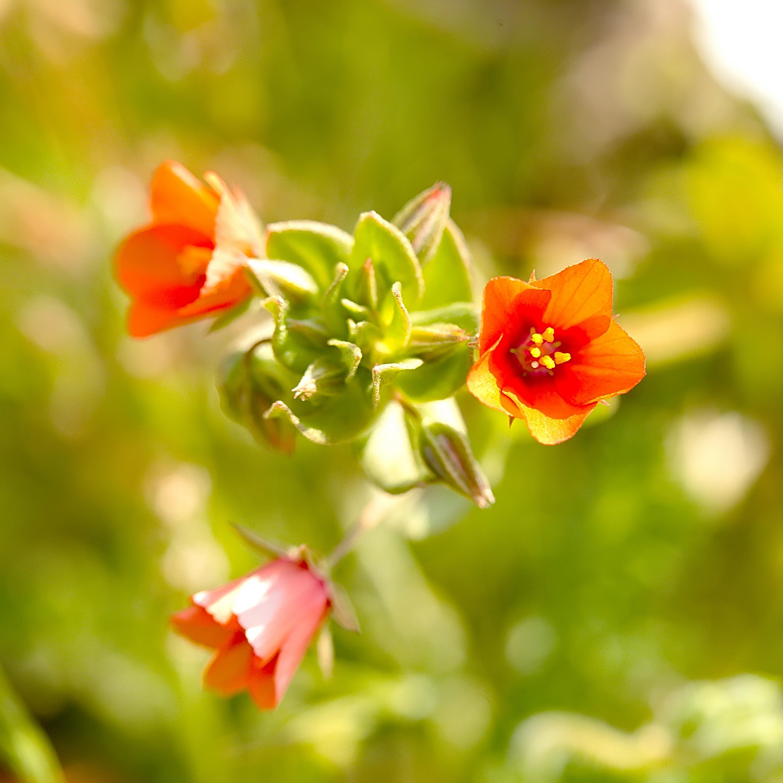 Rood guichelheil, anagallis arvensis arvensis