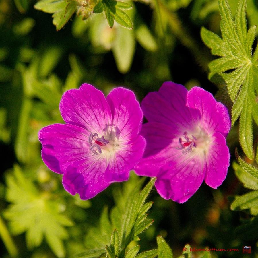 Bloedooievaarsbek, geranium sanguineum