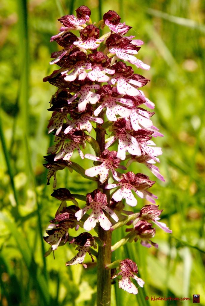 Purper orchis, orchis purpurea