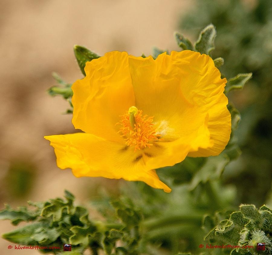 Gele hoornpapaver, glaucium flavum