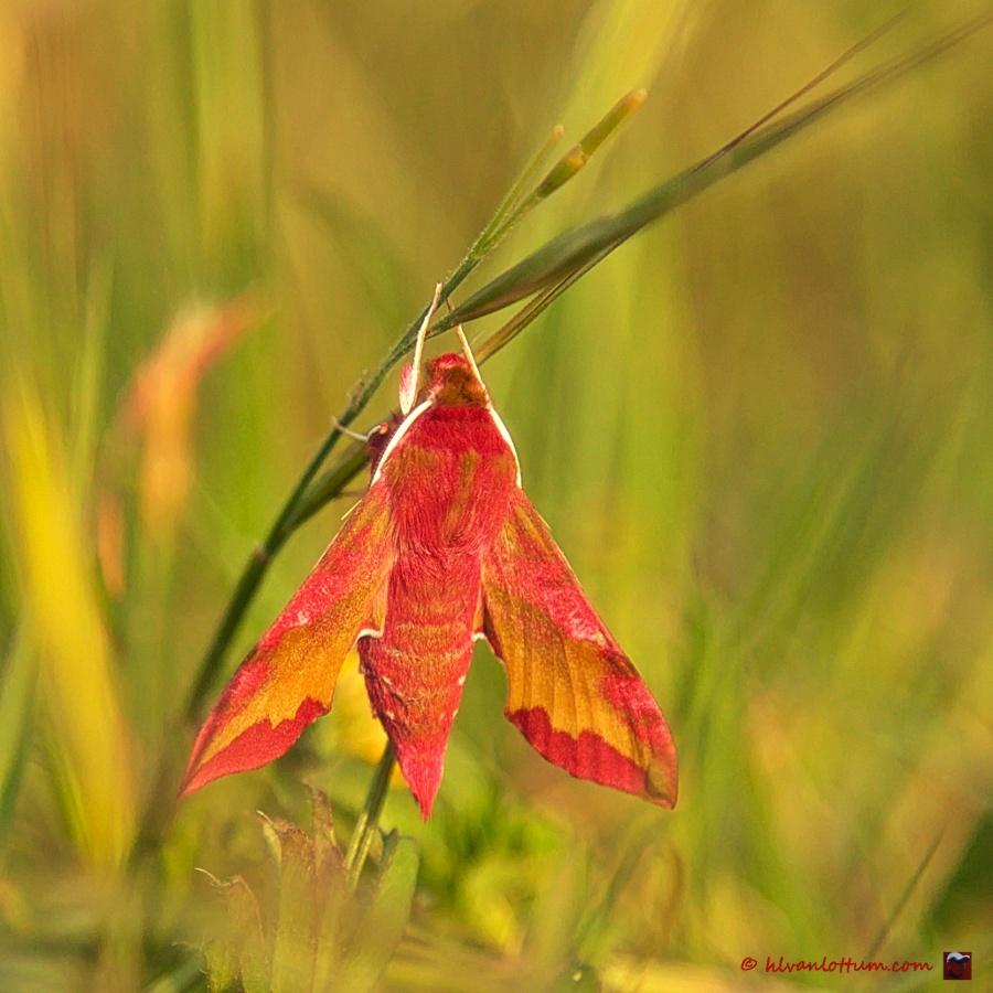 Klein avondrood, deilephila porcellus