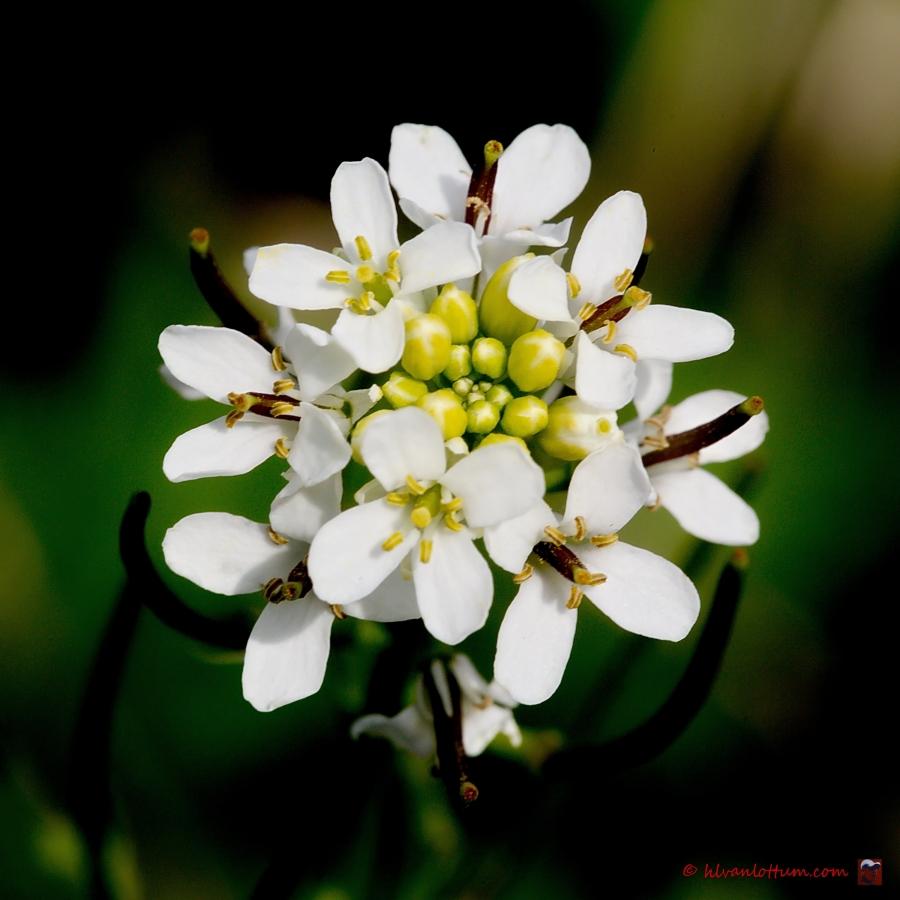 Look zonder look, alliaria petiolata