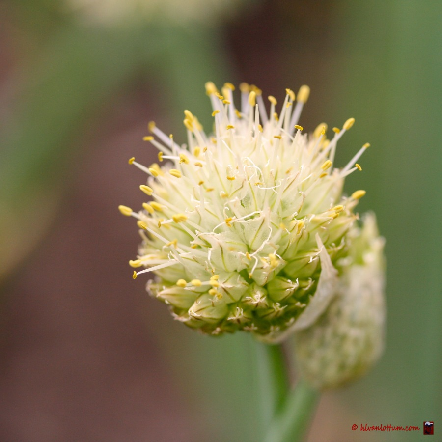 Japanse bieslook, allium fistulosum