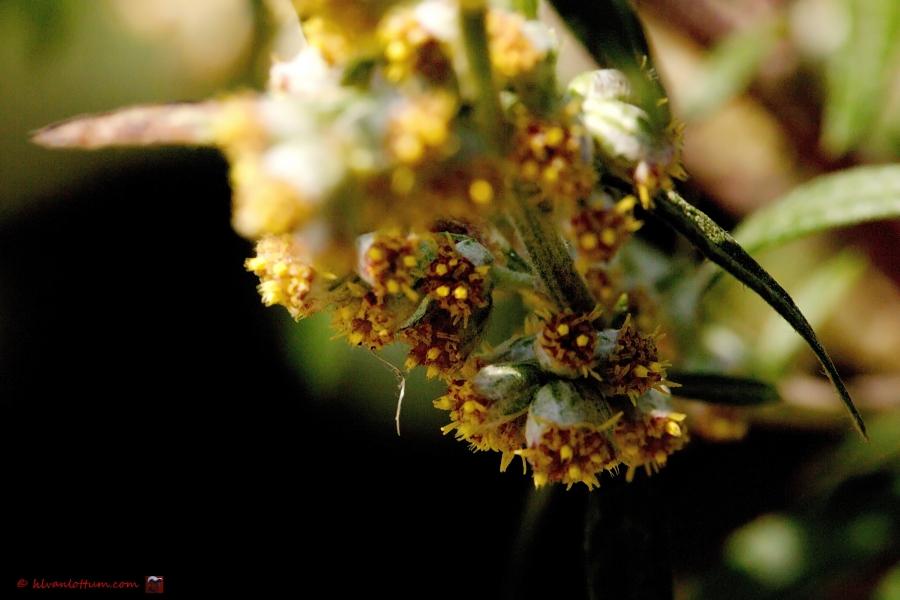 Bijvoet, artemisia vulgaris