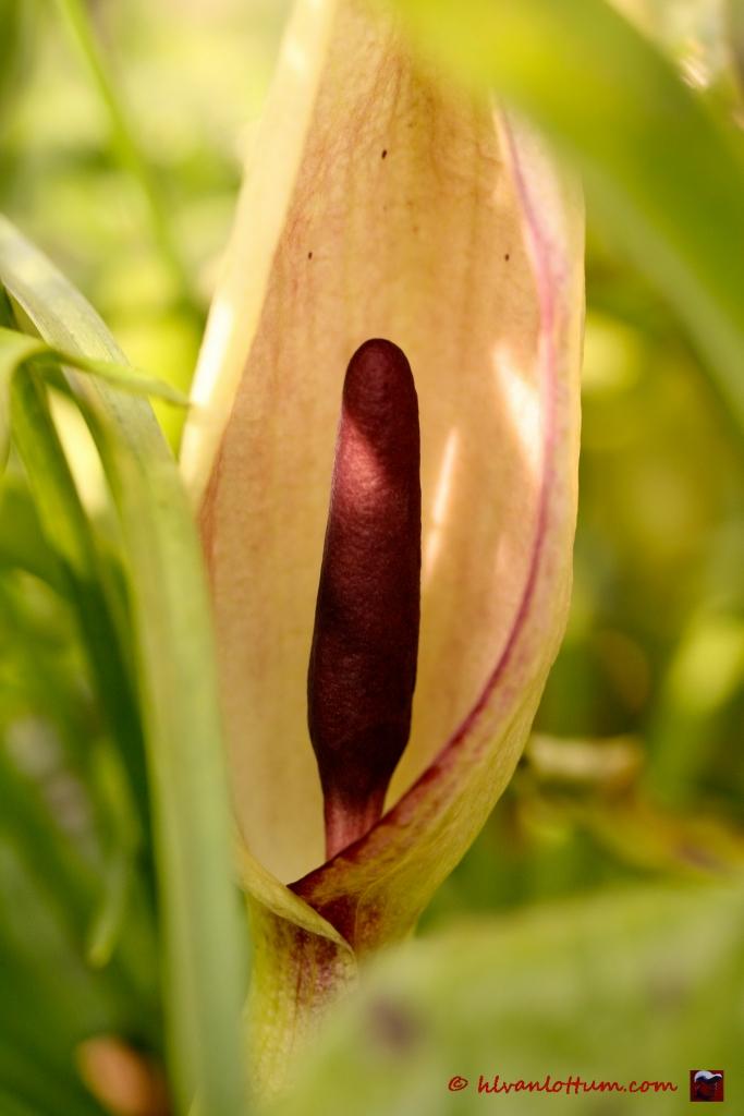 Aronskelk, arum maculatum
