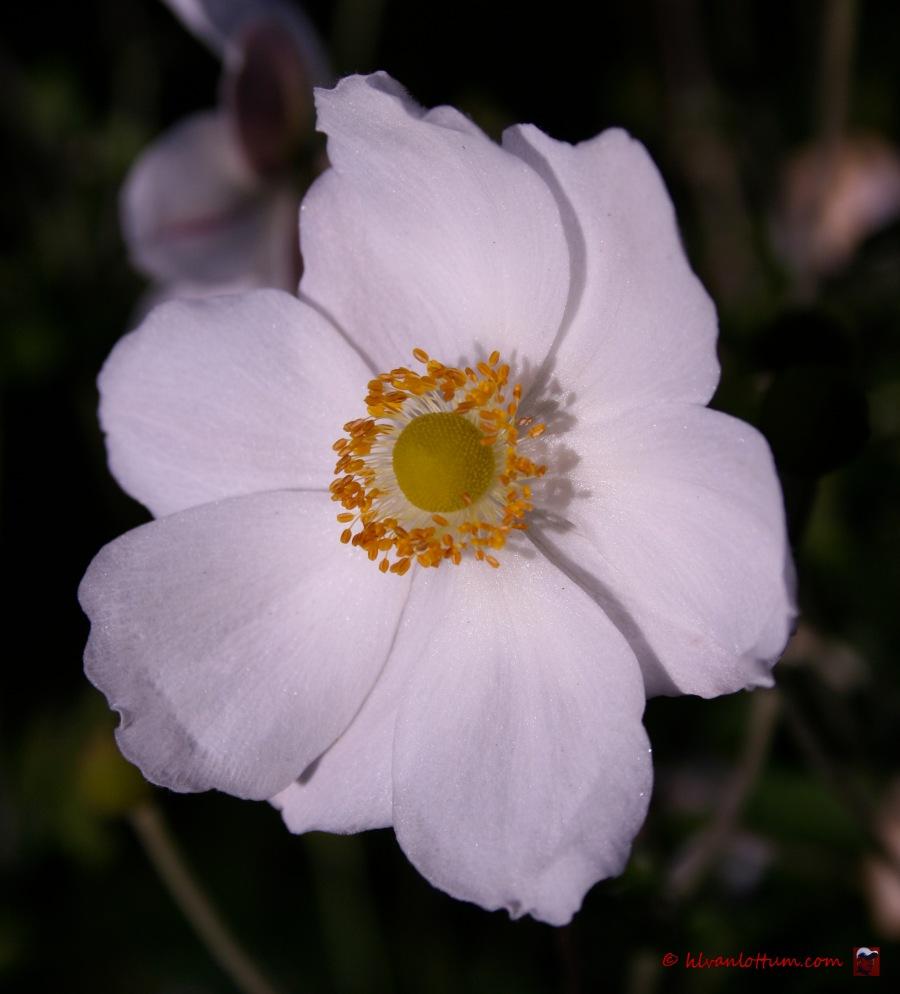 Witte anemoon, anemone Honorine Jobert