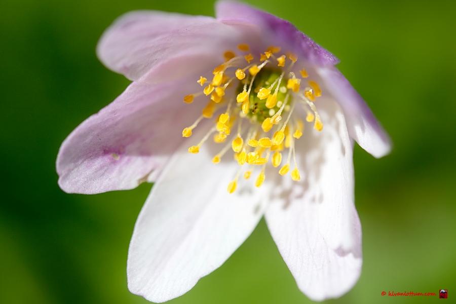 Bos anemoon, anemone nemorosa