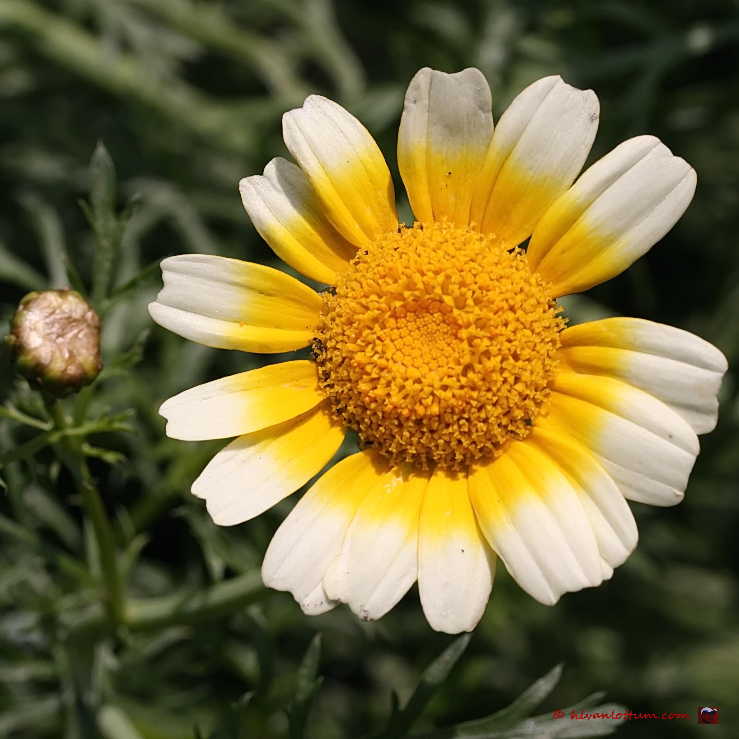 Gekroonde ganzenbloem, chrysanthemum coccineum