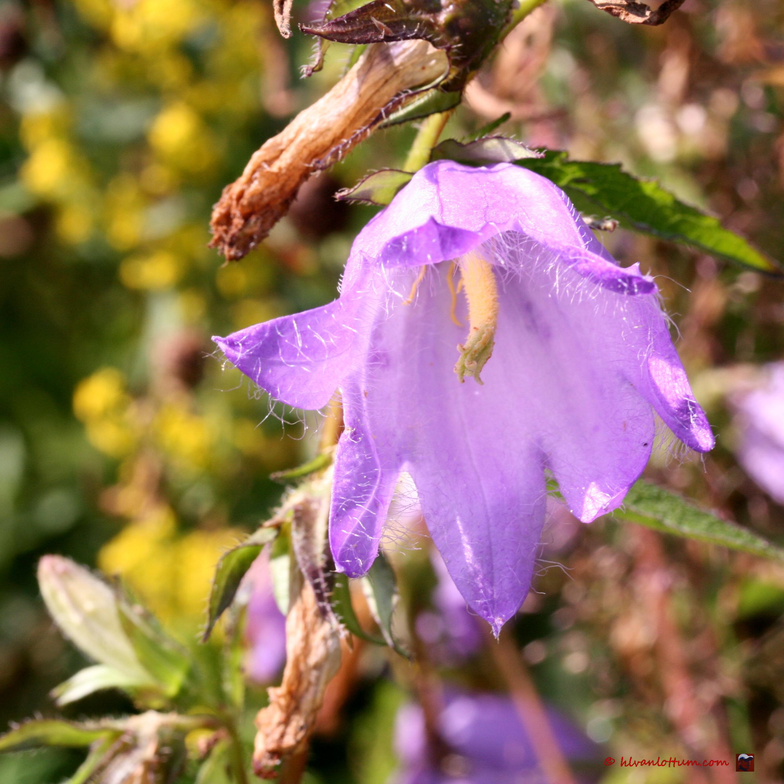 Breed klokje, campanula latifolia