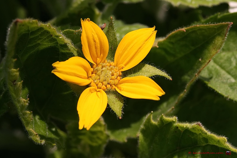 Goudkorfje, chrysogonum virginianum