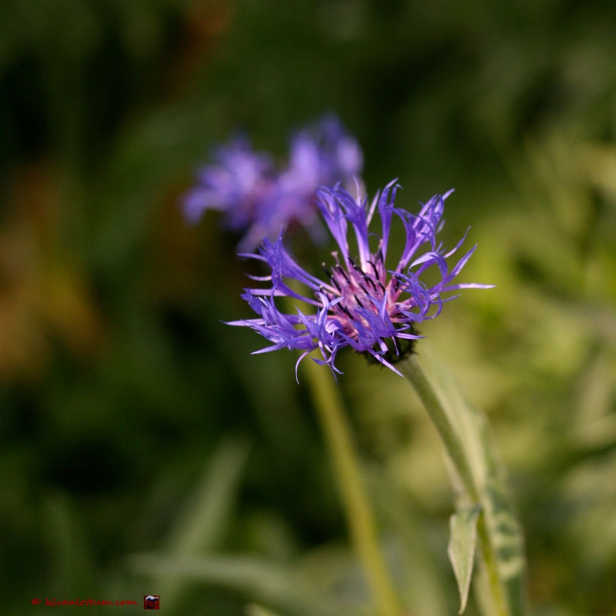 Bergcentaurie - centaurea montana