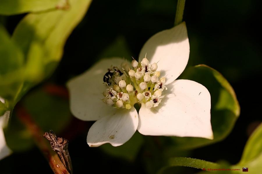 Dwerg kornoelje - cornus canadensis