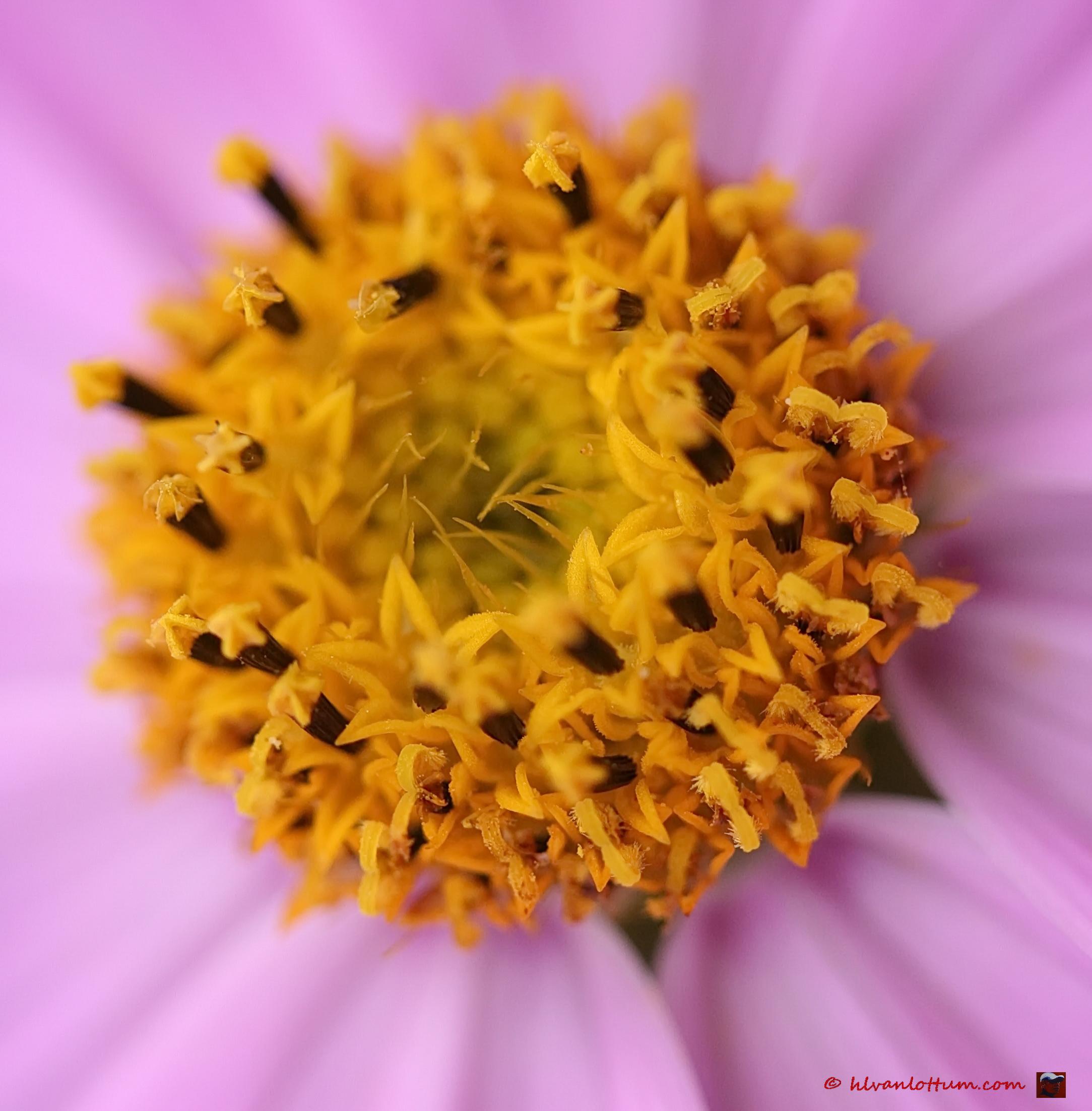 Roze cosmos - Cosmos bipinatus rosea