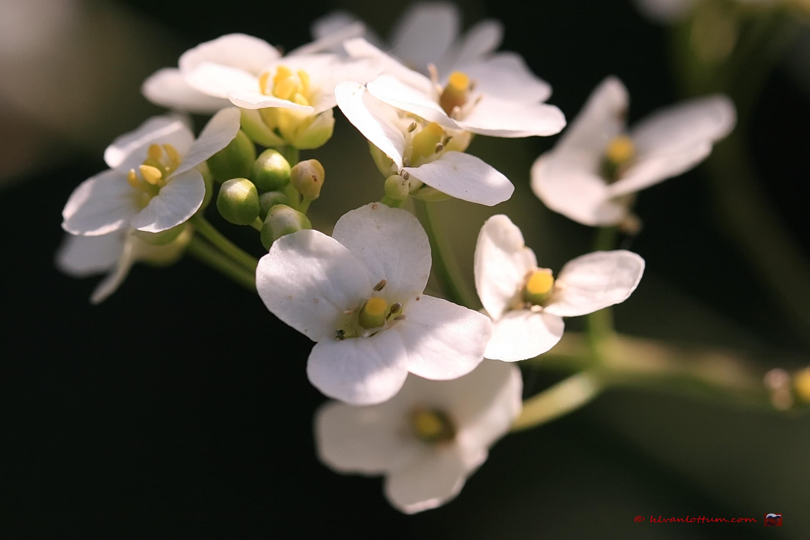 Crambe - crambe cordifolia