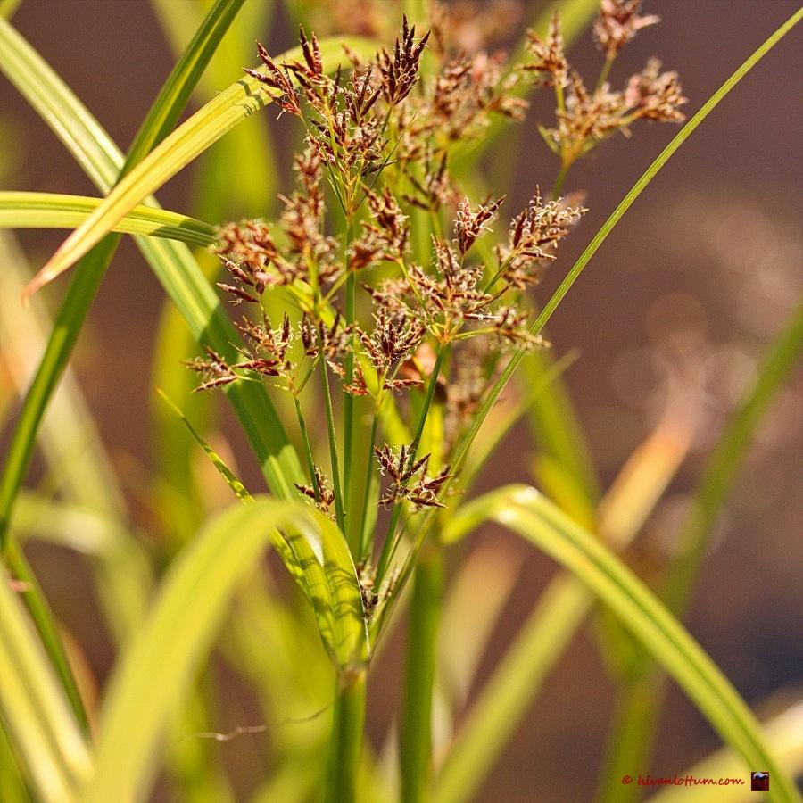 Parapluplant - cyperus alternifolius