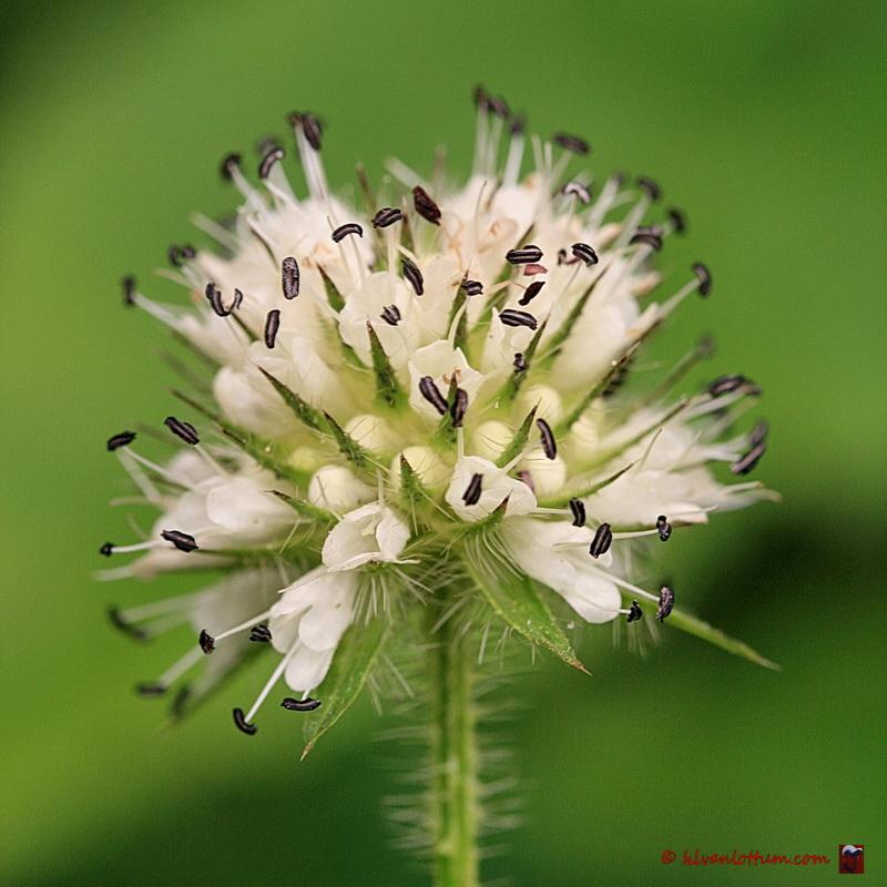 Kleine kaardenbol - Dipsacus pilosus