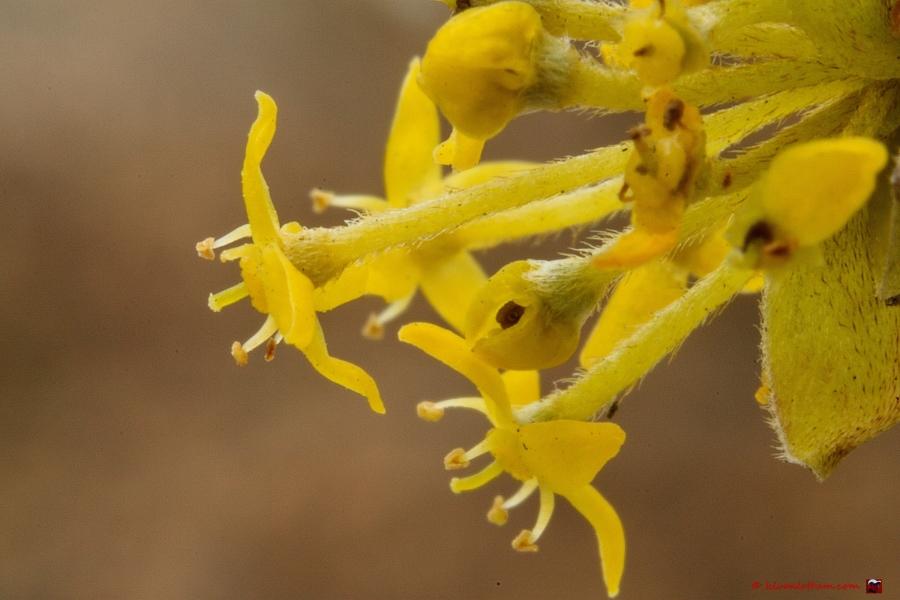 Gele kornoelje - Cornus mas