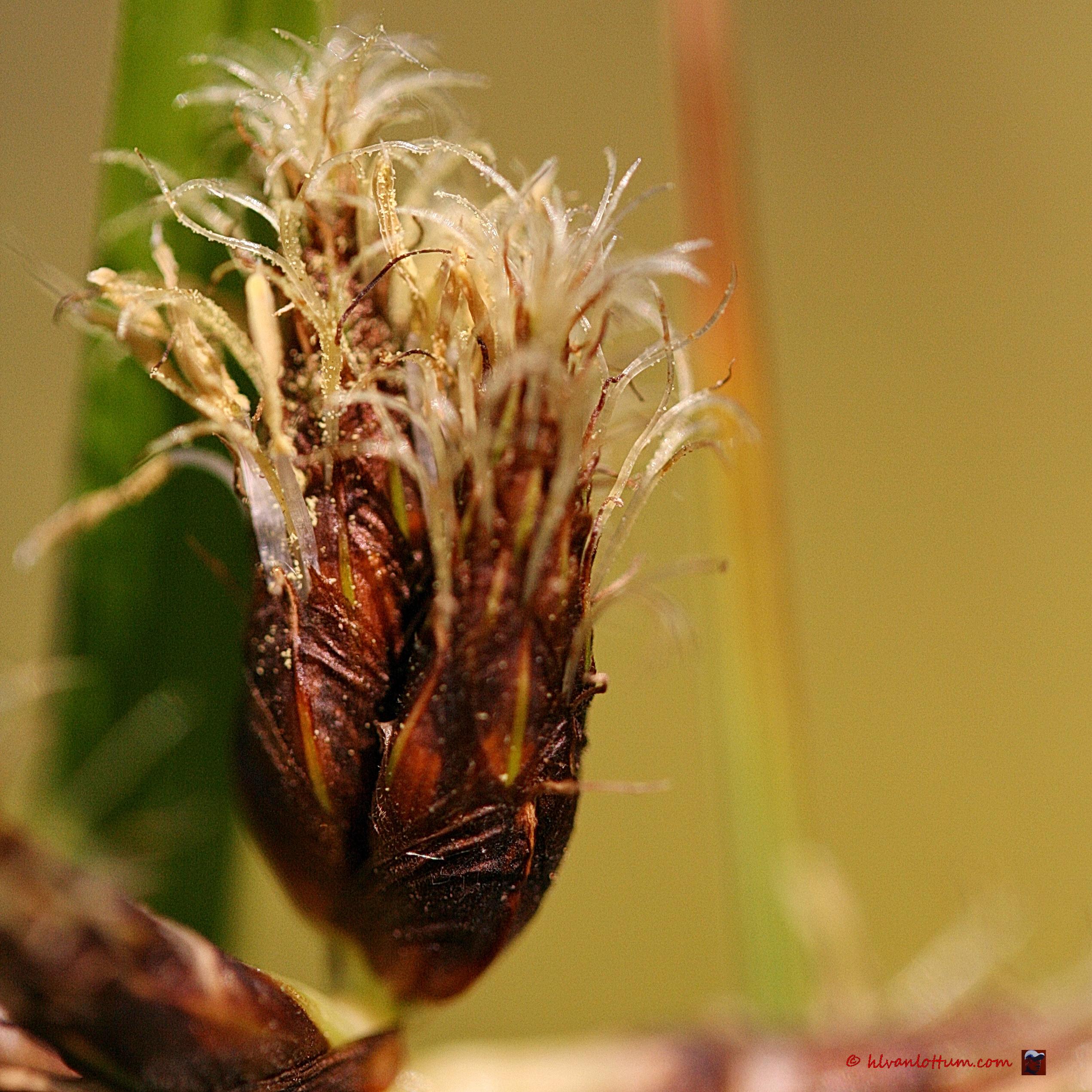 Rood cypergras - Cyperus longus