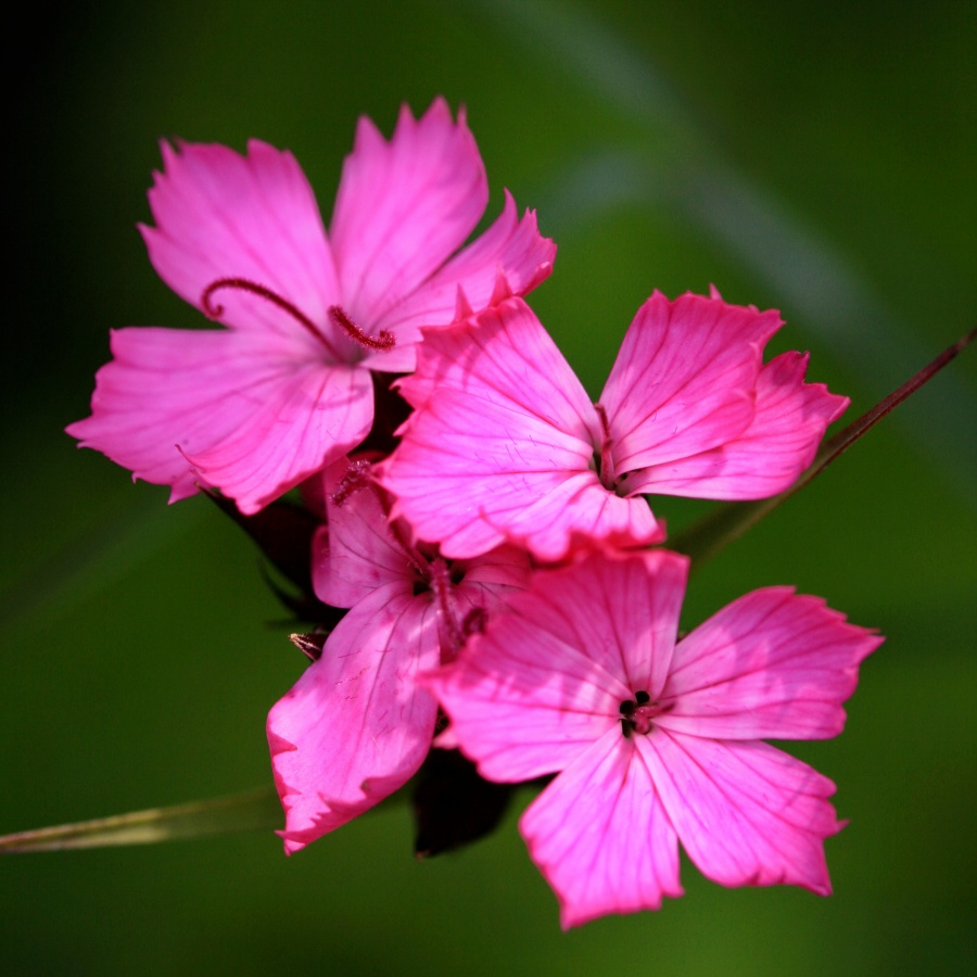 Karthuiser anjer - dianthus carthusianorum