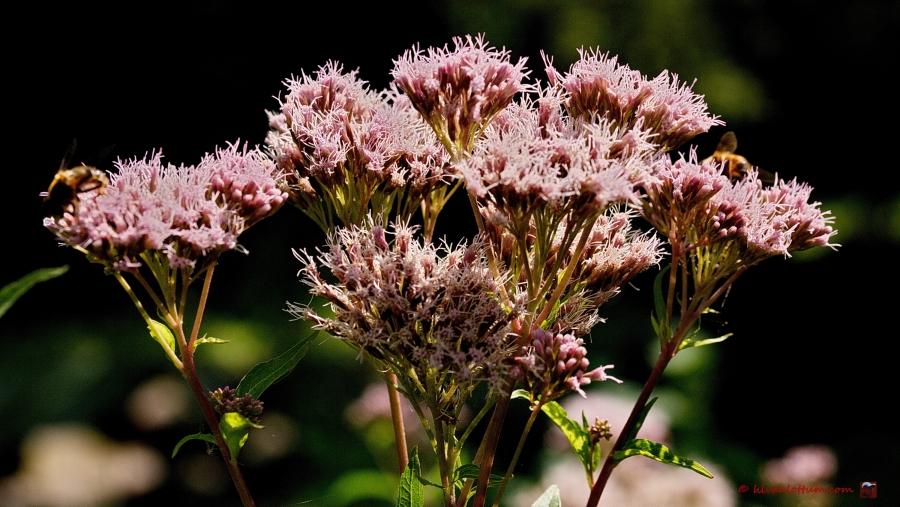 Koninginnenkruid - eupatorium cannabium