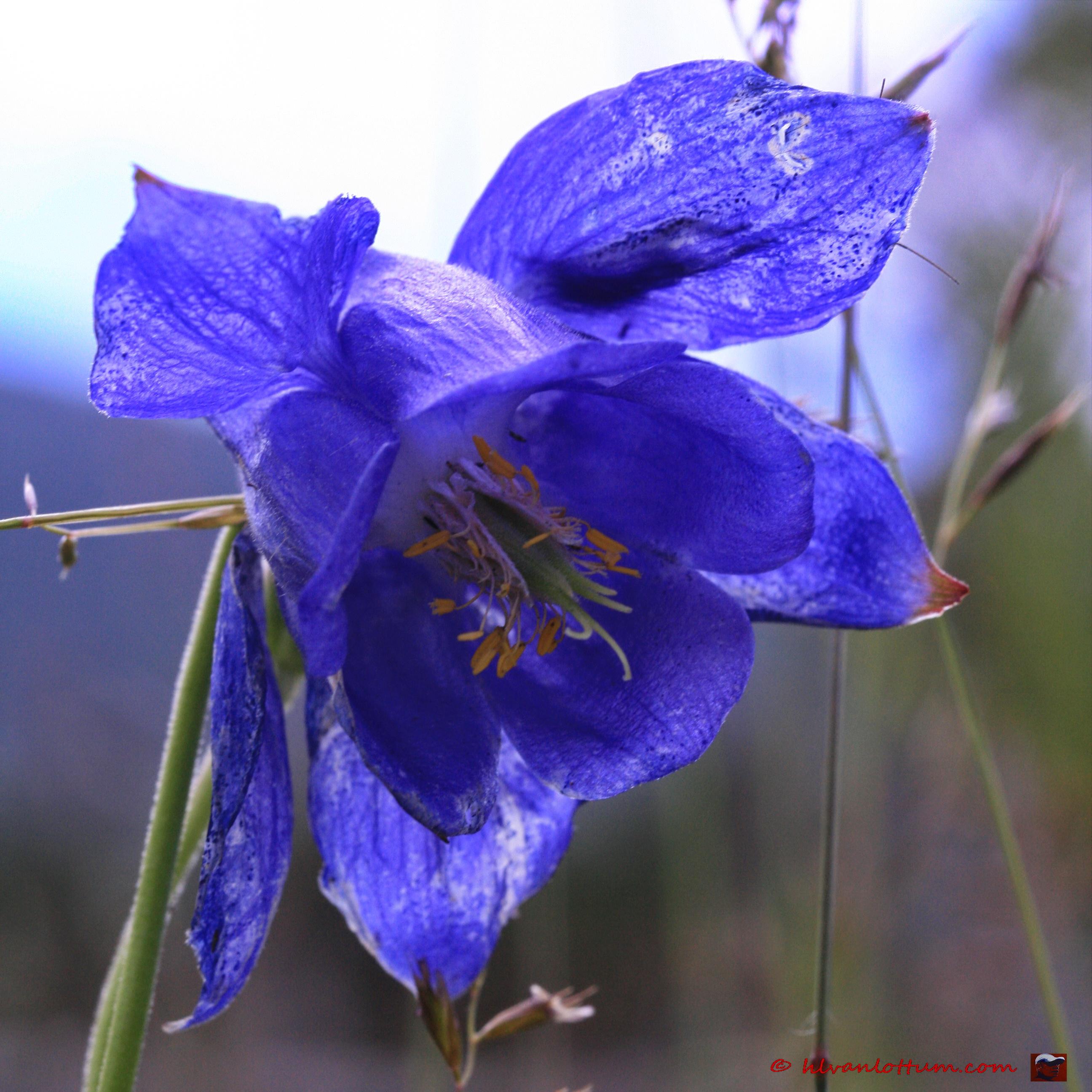 Alpenakelei - aquilegia alpina