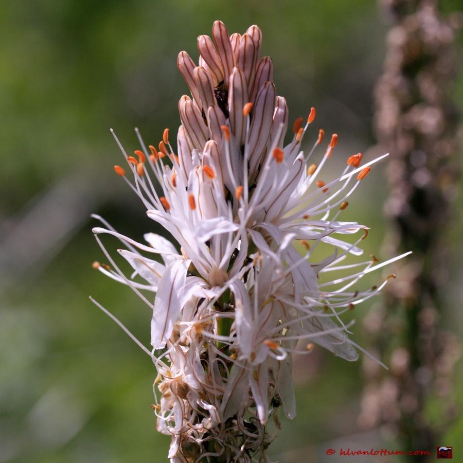 Affodil - asphodelus macrocarpus