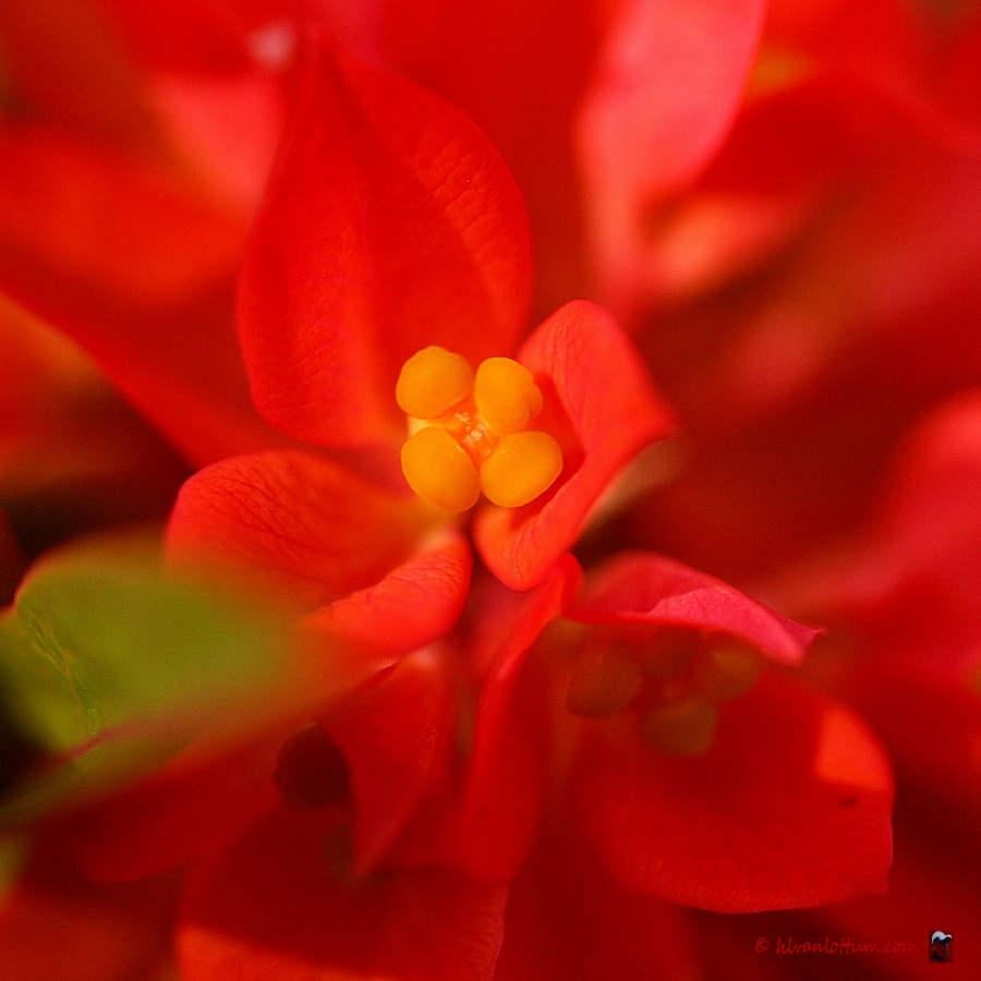 Euphorbia griffitii firecracker