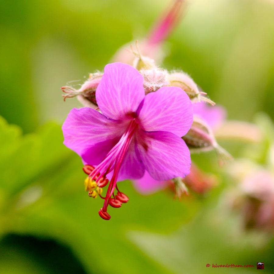 Rots geranium - geranium macrorrhizum czakor