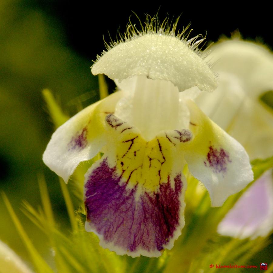 Dauwetel - galeopsis speciosa