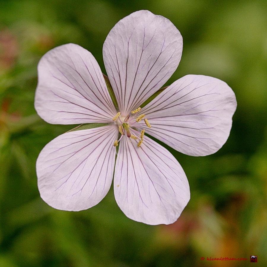Geranium Clarckei-Kashmirwhite