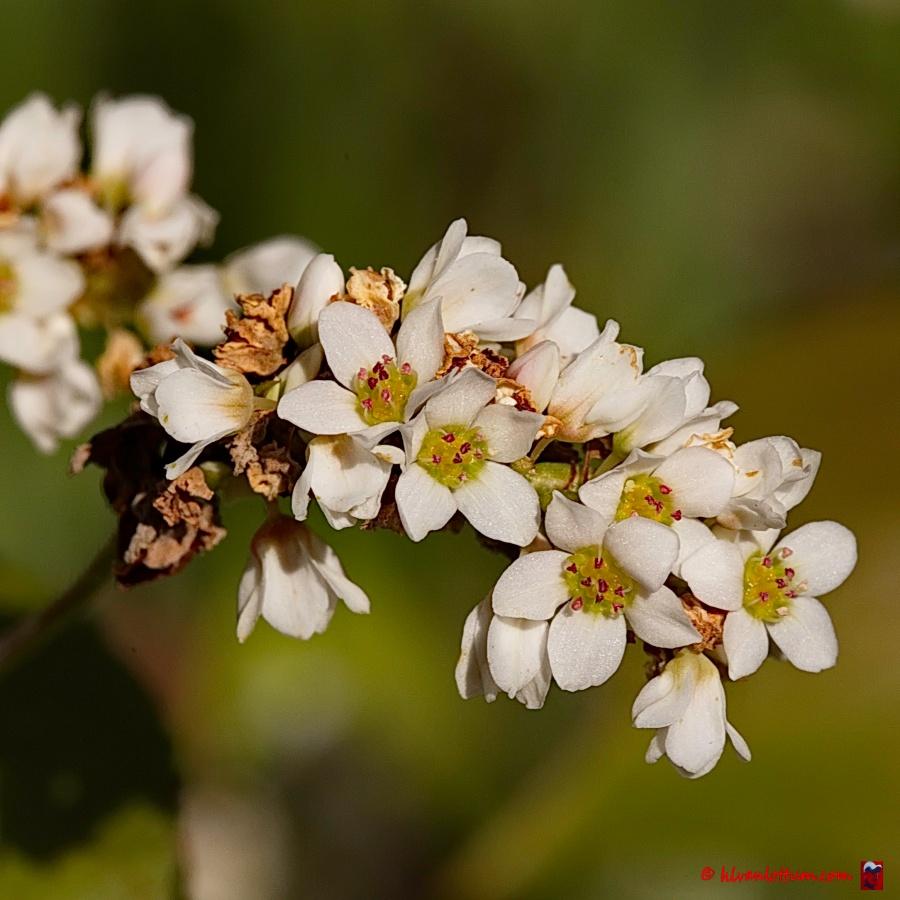 Boekweit - Fagopyrum esculentum