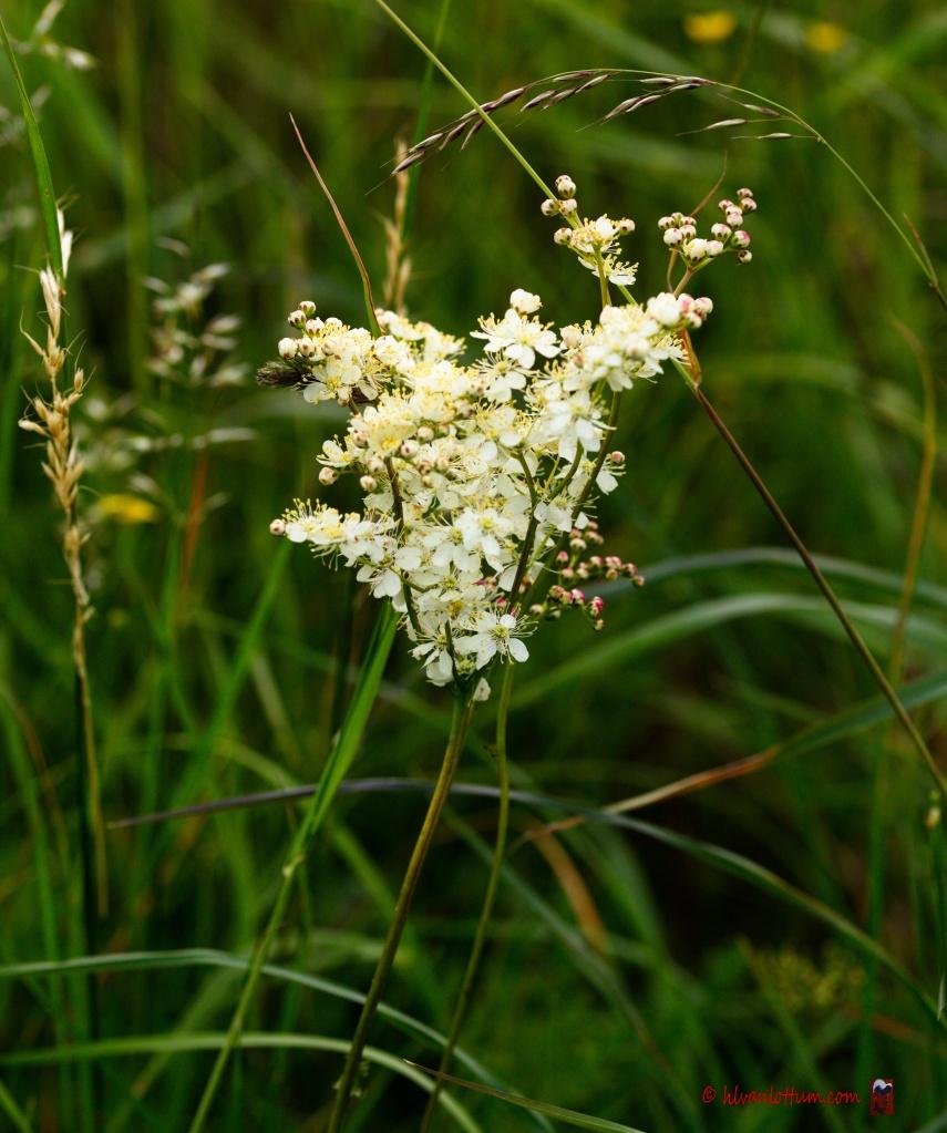 Knolspirea - filipendula vulgaris