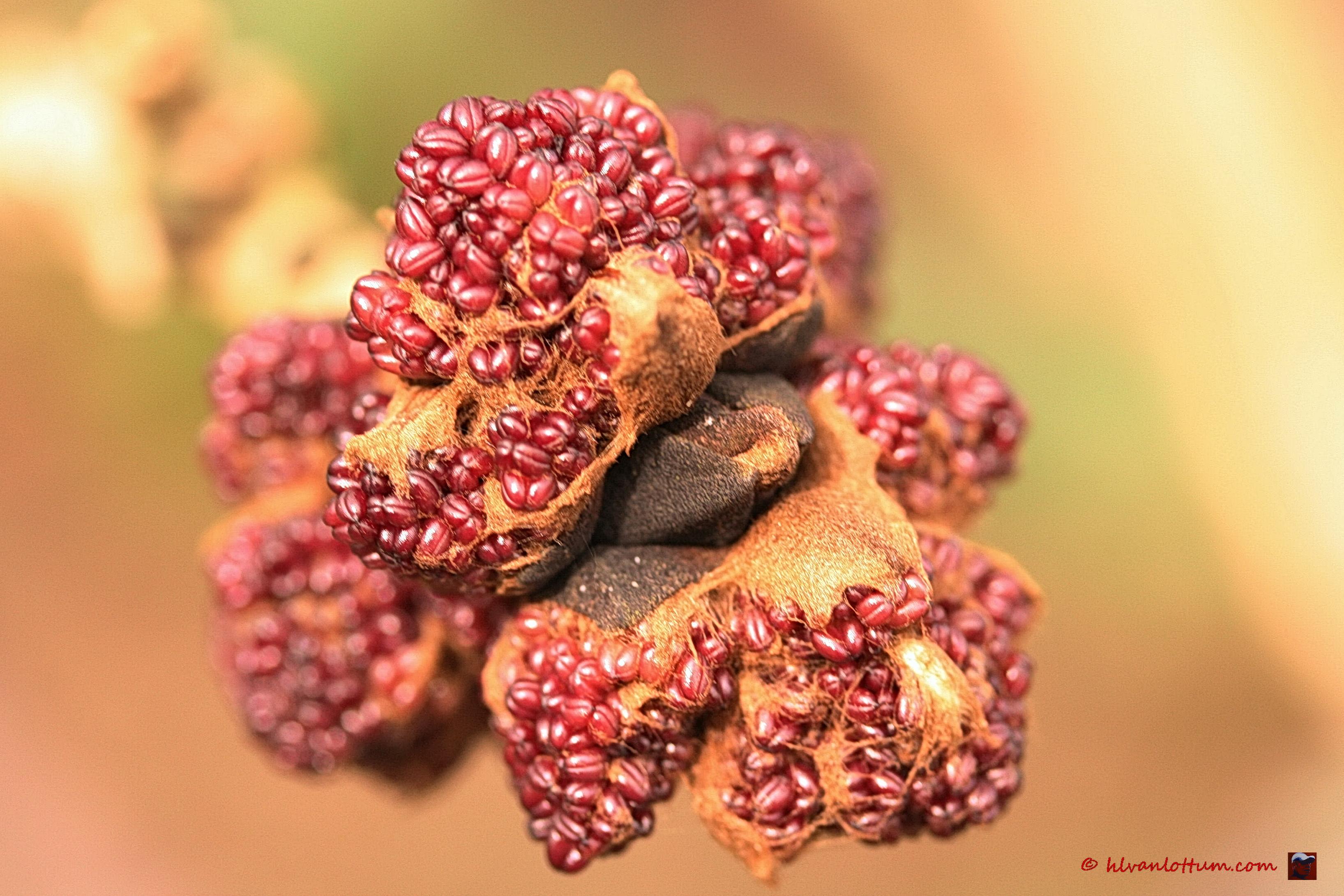 Gewone es - fraxinus excelsior