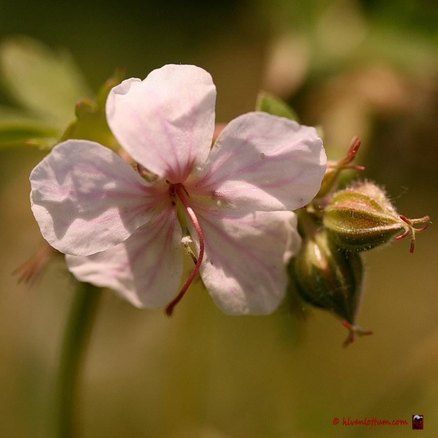 Witte rotsgeranium - geranium macrorrhizum album