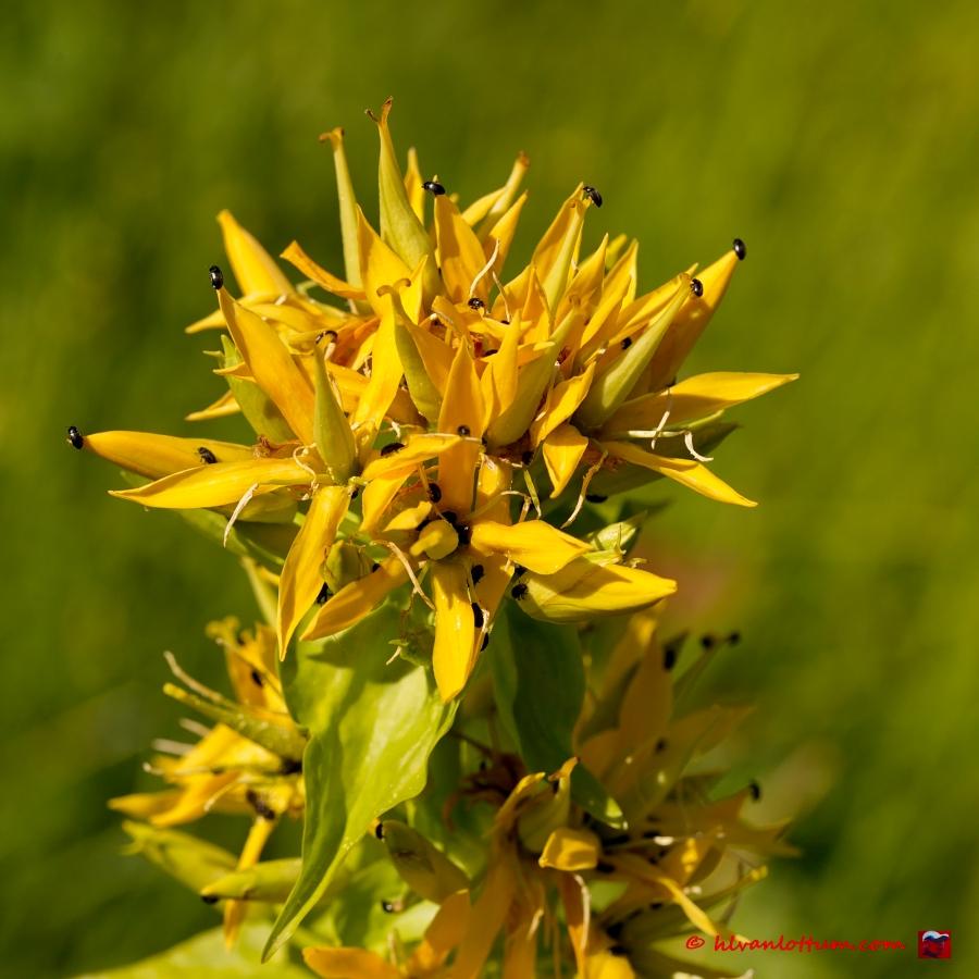 Gele gentiaan - gentiana lutea