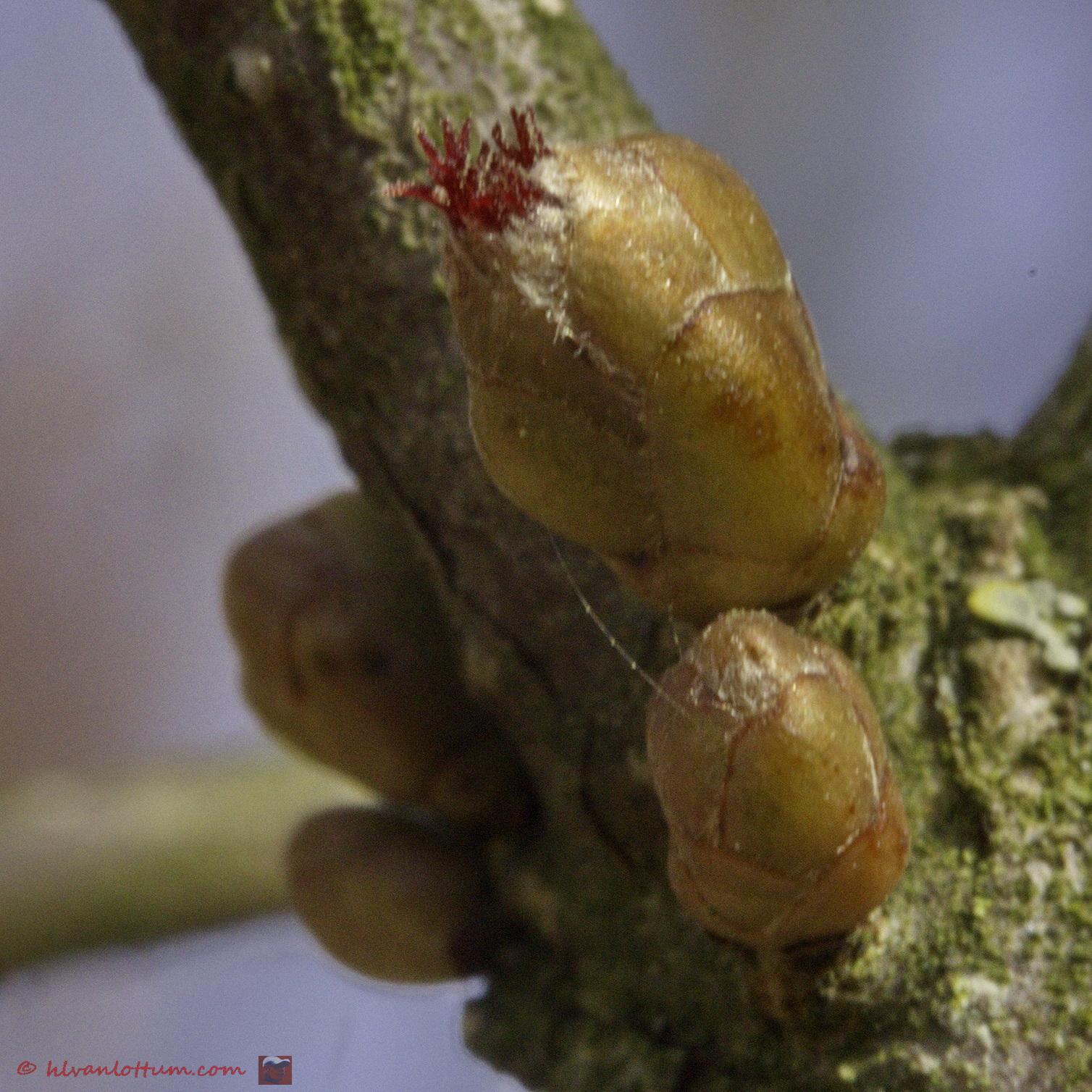 Kleinrood - vrouwelijke bloem van de hazelaar - corylus avelana