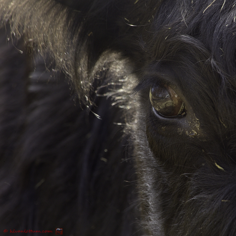 Bullseye - lakenvelder koe