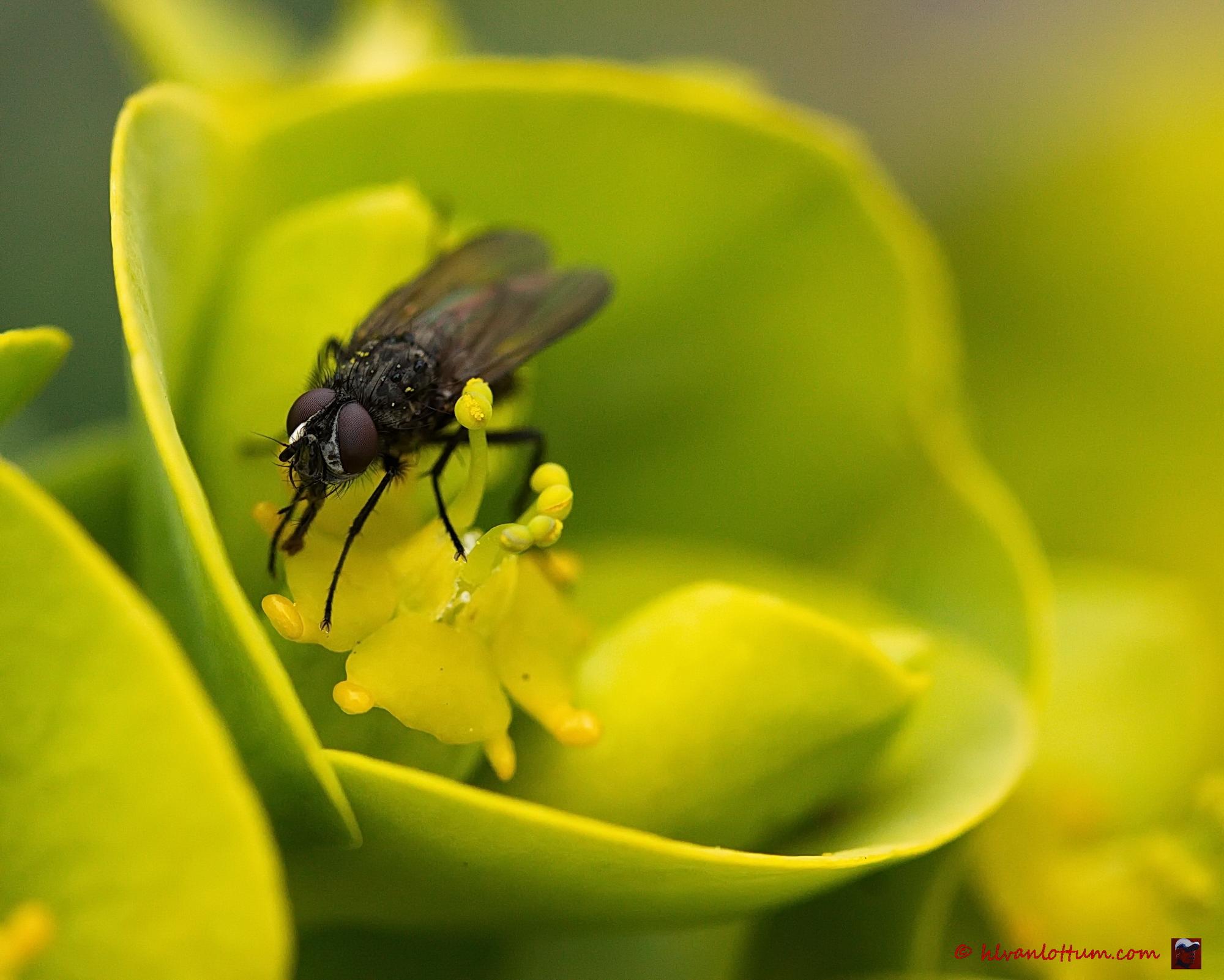 Euphorbia met vlieg