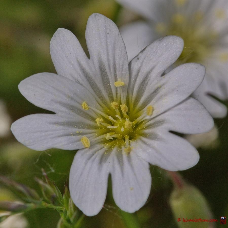 Gewone hoornbloem - cerastium vulgatum