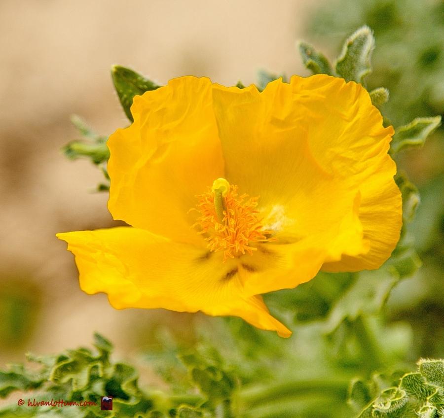 Gele hoornpapaver - glaucium flavum