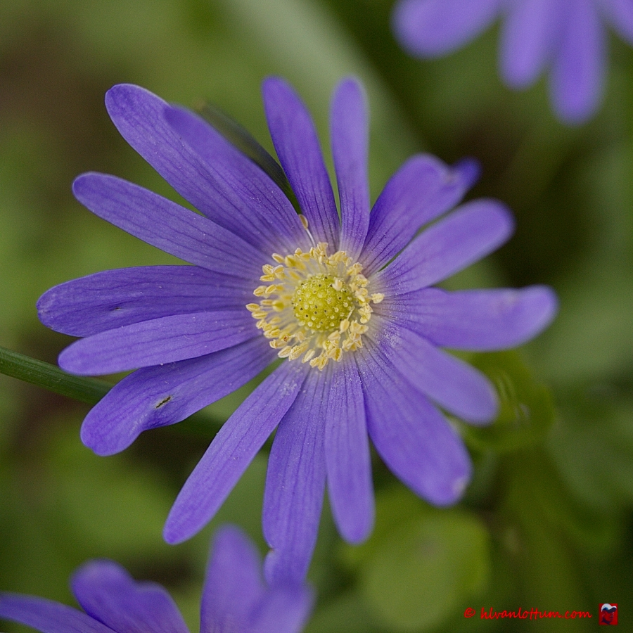 Oosterse anemoon - anemone blanda