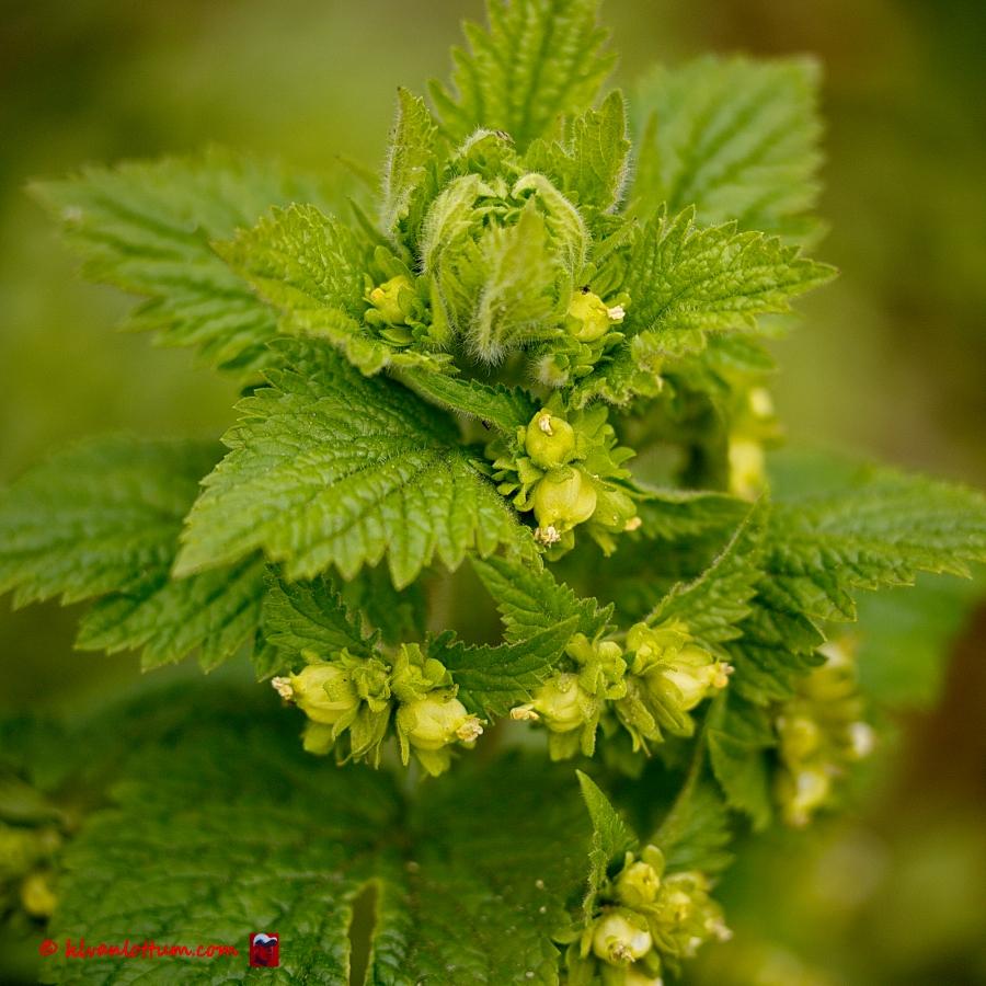 Voorjaarshelmkruid - scrophularia vernalis