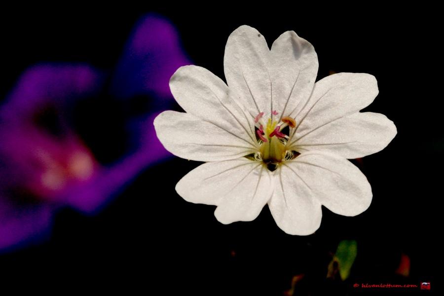 Bergooievaarsbek - geranium pyrenaicum