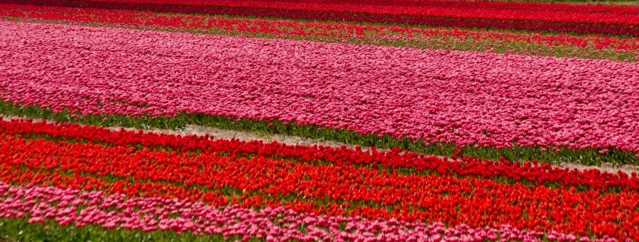 Roze en rood - bollenvelden